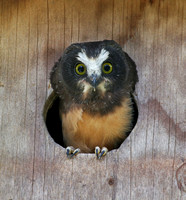 young Northern Saw-whet Owl ready to fledge