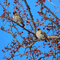 Bohemian Waxwings with late winter berries