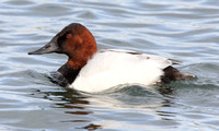 male Canvasback