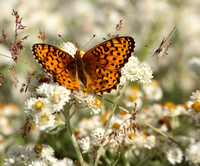 Northwest Fritillary and friend (Mariposa Copper)