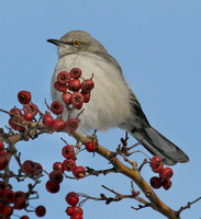 Northern Mockingbird in winter