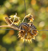 Chipmunk camouflaged on a sunflower