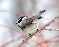 Mountain Chickadee with a bit of snow on its bill