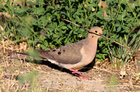 Mourning Dove gathering nest sticks