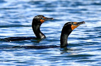 Double-crested Cormorant pair in breeding plumage