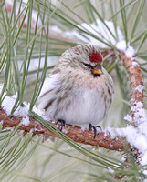 pale Common Redpoll or Hoary?