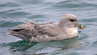 Light gray Northern Fulmar