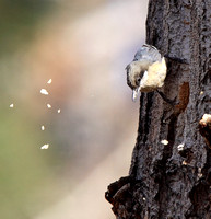 Pygmy Nuthatch excavating a nest