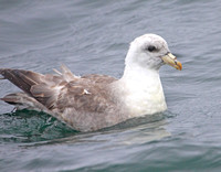 Various phases of Northern Fulmar - light