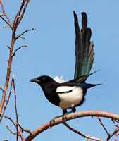 Corvids: Magpies, Jays, Nutcrackers