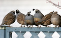 A covey of quail (quail conference)