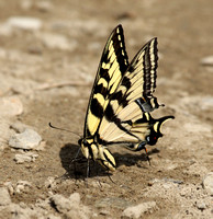 Western Tiger Swallowtail puddling