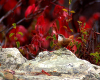 Canyon Wren with red sumac leaves in background