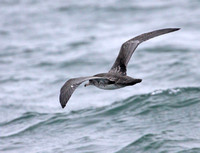 Back view of Pink-footed Shearwater