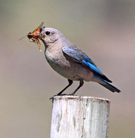 female Mountain Bluebird with food for young