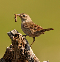 House Wren with food for young