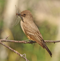 Say's Phoebe with Epitheca spinigera (Spiny Baskettail)