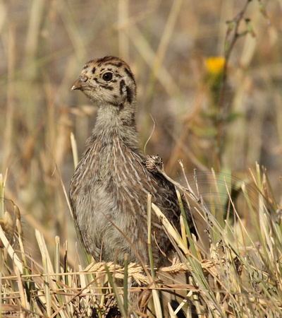 Gray Partridge chick