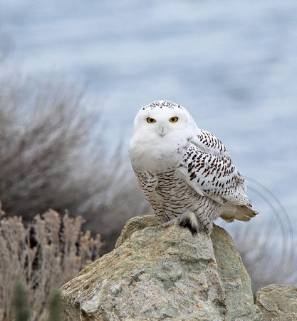 immature female Snowy Owl next to a busy highway on a Friday afternoon