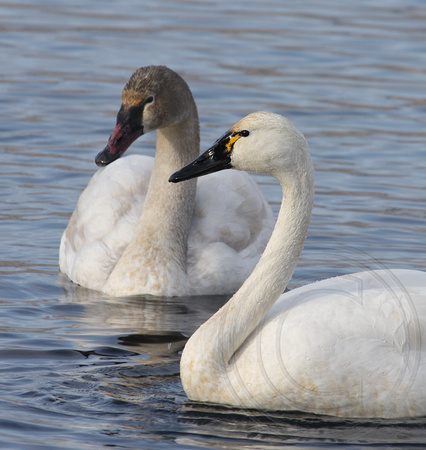 adult Tundra Swan and immature