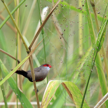 Common Waxbill showing black undertail coverts