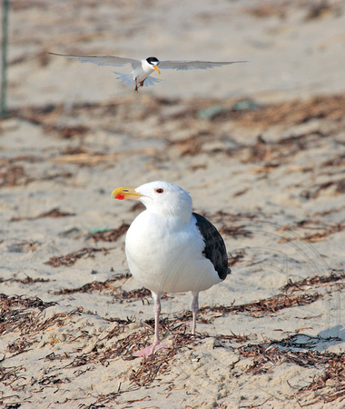 Least Tern divebombing Great Black-backed Gull