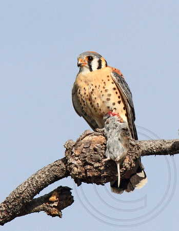 male American Kestrel with food gift for mate