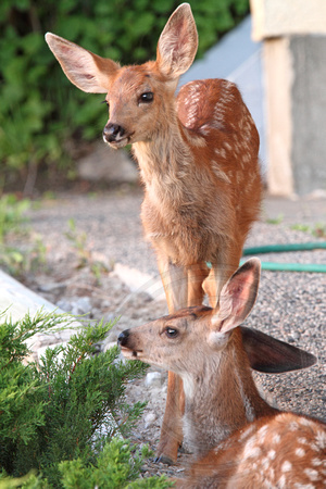 Two of the fawns