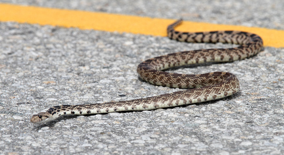 Gopher Snake trying to cross Green Mt. Rd.