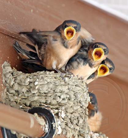 Barn Swallow nestlings ready to fledge...and eat