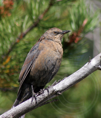 juvenile Rusty Blackbird? - it has dark eyes