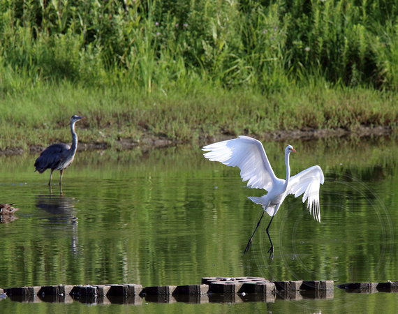 GB Heron trying to intimidate a Great Egret