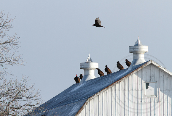 vultures on Wickerson Rd. barn
