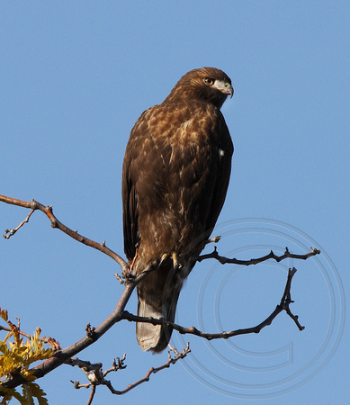 Red-tailed Hawk, dark morph, juvenile