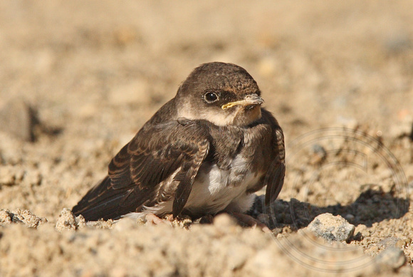 newly fledged Bank Swallow