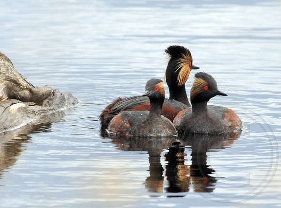 a gathering of Eared Grebes