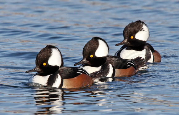 male Hooded Mergansers swimming towards me