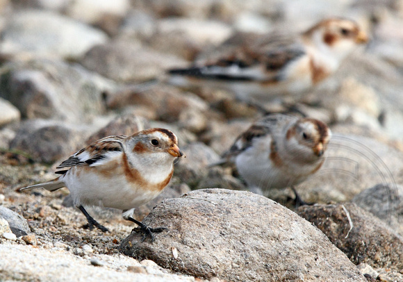 Three of the four snow buntings
