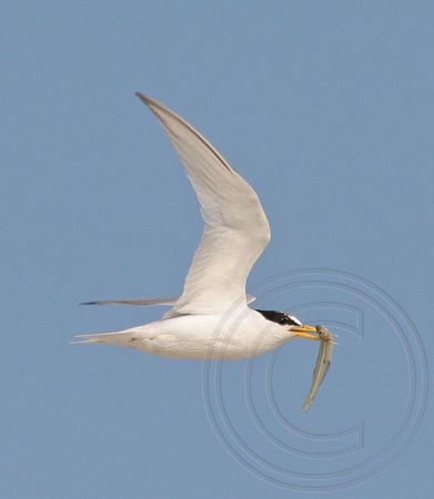 Least Tern carrying a minnow