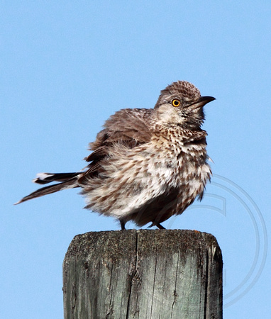 Sage Thrasher all ruffled up