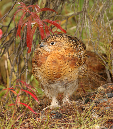 male Willow Ptarmigan beginning molt to winter white plumage