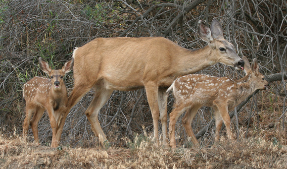Mule Deer mom caring for her two fawns