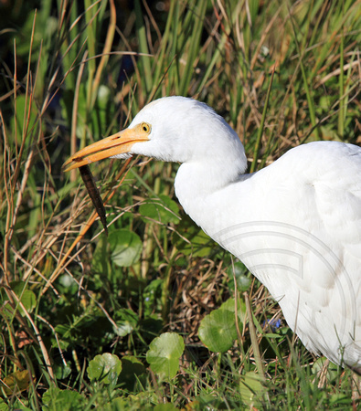 Cattle Egret with worm
