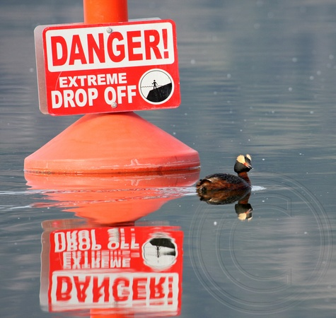 Dare Devil (Horned Grebe in alternate plumage)