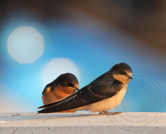juvenile Barn Swallows