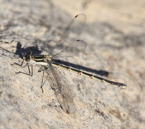 female Spreadwing spp.