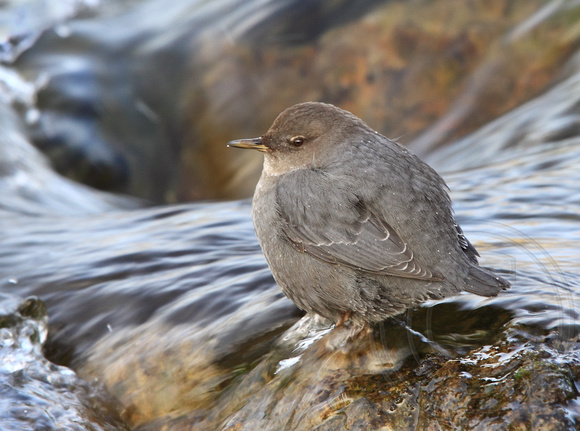 American Dipper in its winter stream