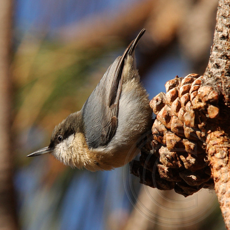 Pygmy Nuthatch on a Ponderosa Pine cone