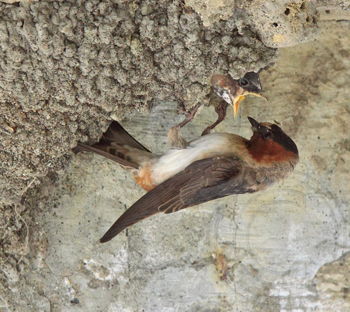 Cliff Swallow feeding young