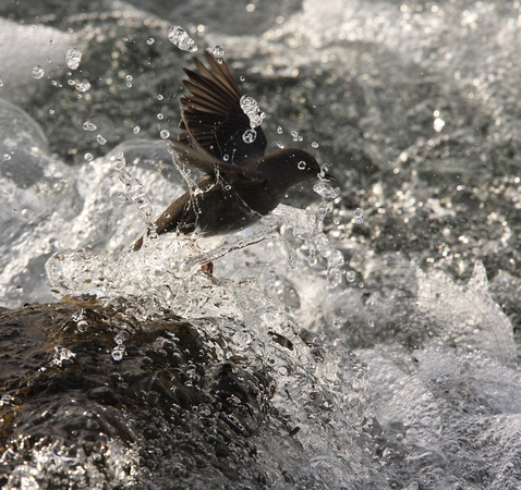 another jump, this bird repeated its clamber up onto the rock and into the surf numerous times